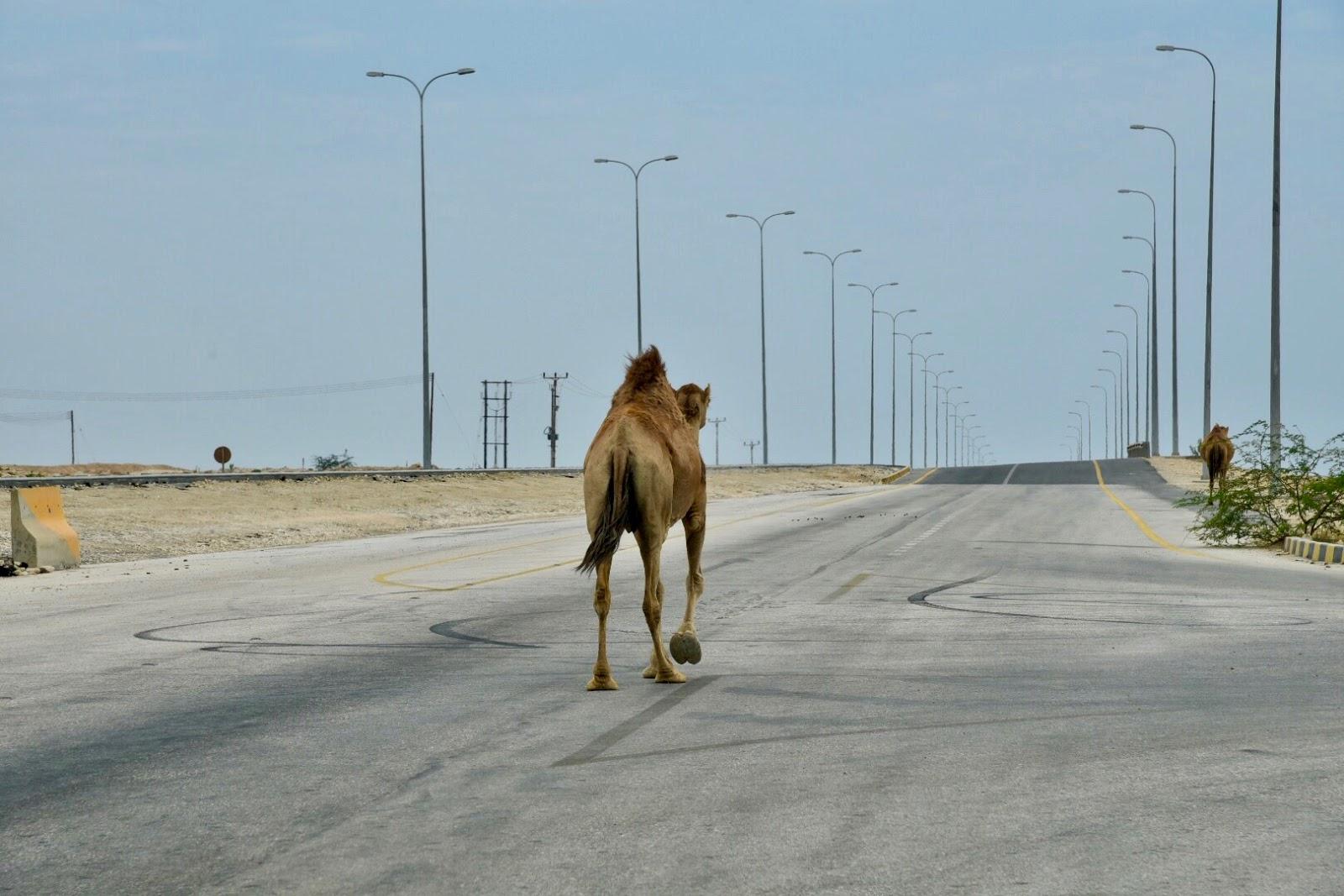 Kamele4